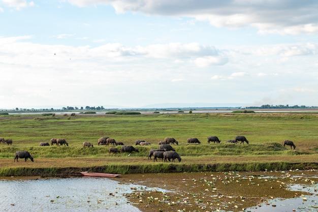 Veel buffels eten gras in wetlands.