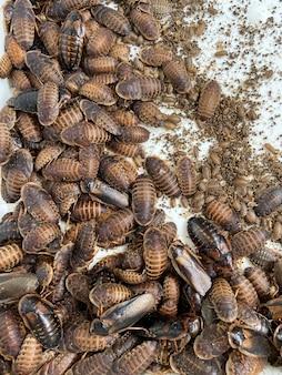 Veel dubia-kakkerlakken, vies insect