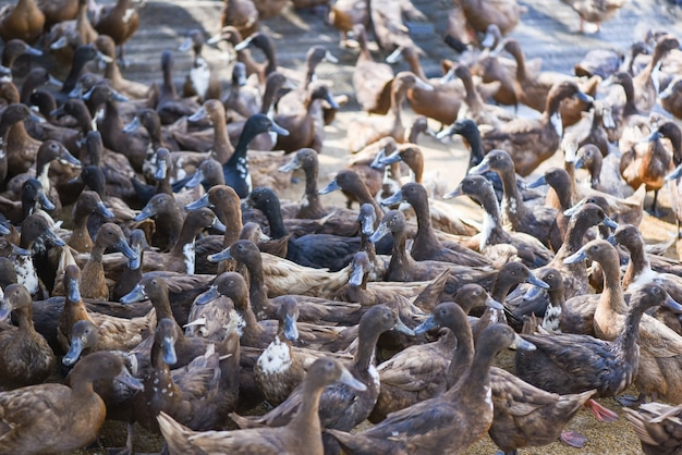 Veel eend in lokale boerderij voor productie van eendeieren - bruine eendenboerderij