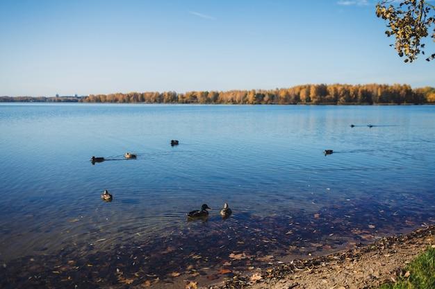 Veel eenden in het meer