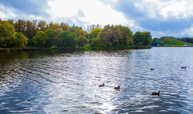 Veel eenden zwemmen op een zomerse dag in het meer