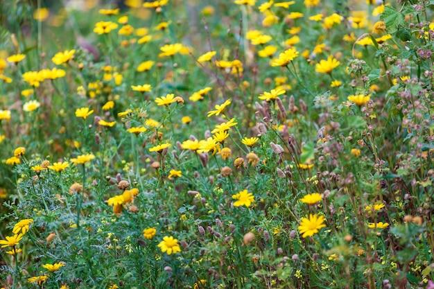Veel gele bloemen in het vroege voorjaar