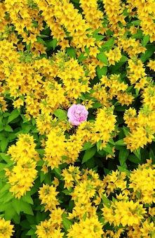 Veel gele bloemen met groene bladeren op de achtergrond voor het hele frame. een roze roos in het midden