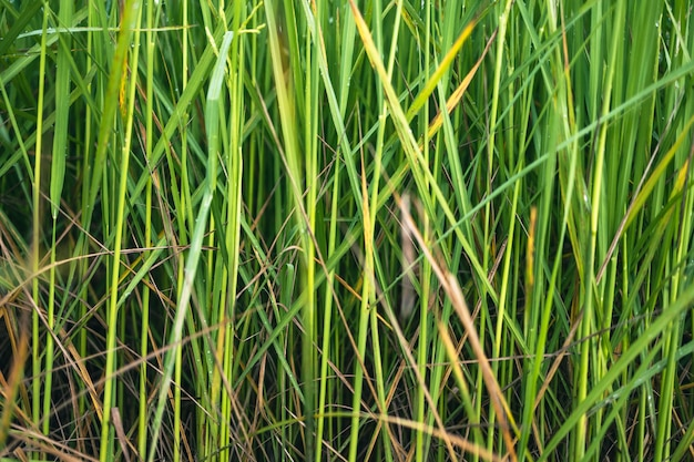 Veel groene rijstplanten hebben dauwdruppels op hun bladeren.