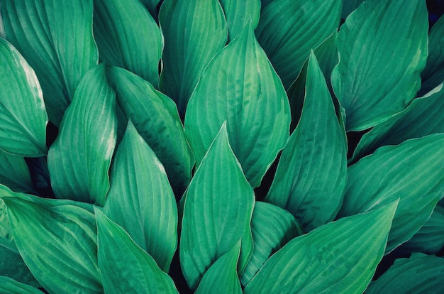Veel grote groene bladeren.