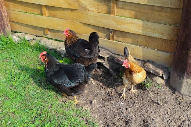 Veel hanen en kippen op het groene gras