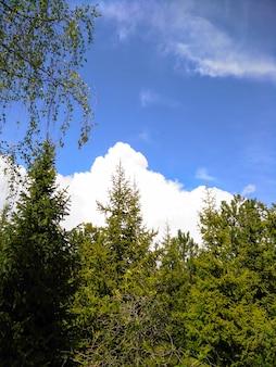 Veel hoge bomen in het park. de mooie lange muur van de cipresboom met blauwe bewolkte hemel hierboven.