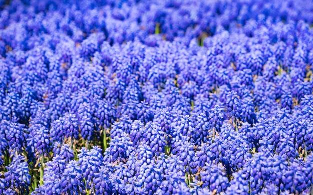 Veel hyacint muscari (muscari botryoides) in de lentetuin. blauwe bloemen veld