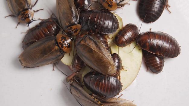 Veel kakkerlakken eten een stuk appel. bovenaanzicht, witte achtergrond, 4k uhd.