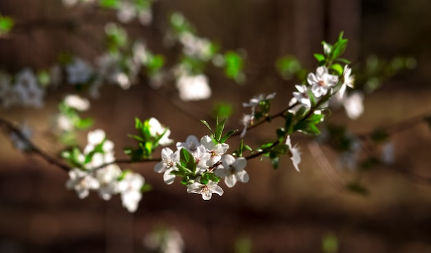 Veel kersenbloemen op de takken