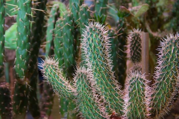 Veel kleine ronde cactussen in de grond, familie. veel cactussen