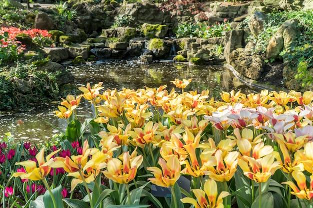 Veel kleurrijke tulpen