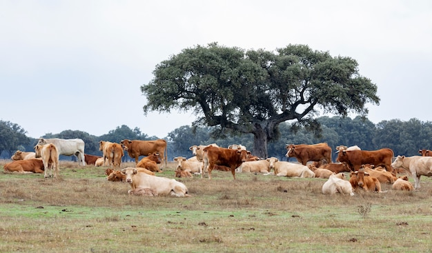 Veel koeien grazen en rusten