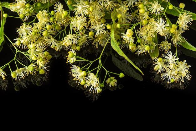 Veel linden of tilia bloemen en bladeren op een geïsoleerde zwarte achtergrond. geneeskrachtige planten maken vaak thee voor verkoudheid.