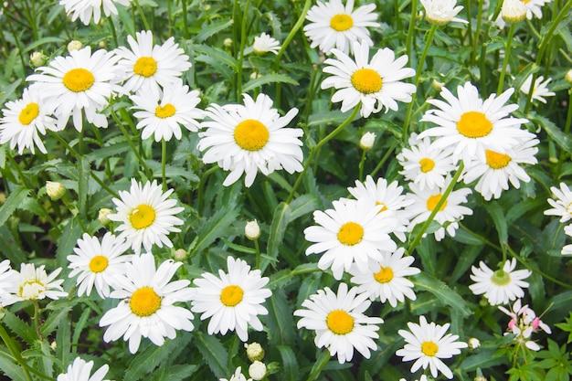 Veel madeliefjes. veld bloemen. madeliefjes met gele centra op een groene achtergrond