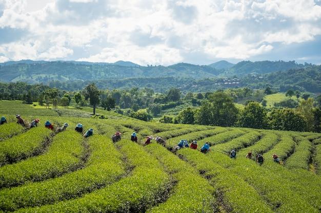 Veel mensen verzamelen thee, de arbeiders verzamelen theebladeren op de theeplantage.