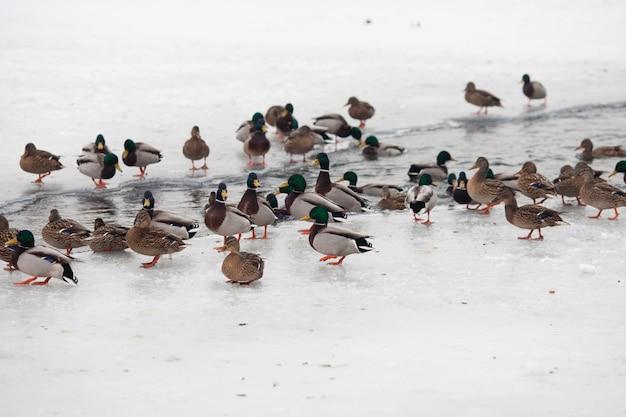 Veel mooie eenden op de bevroren rivier in de winter