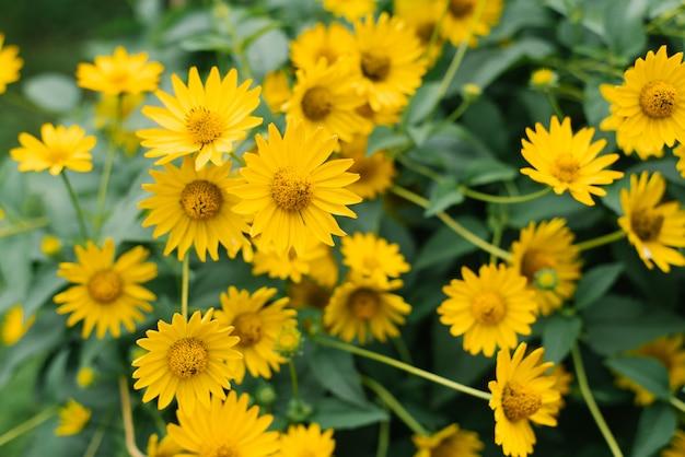 Veel mooie gele heliopsisbloemen bloeien in de tuin in de zomer