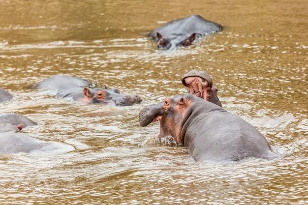 Veel nijlpaarden in de masai-rivier in het nationale park masai mara in kenia, afrika. dieren in het wild. nijlpaard in afrika.