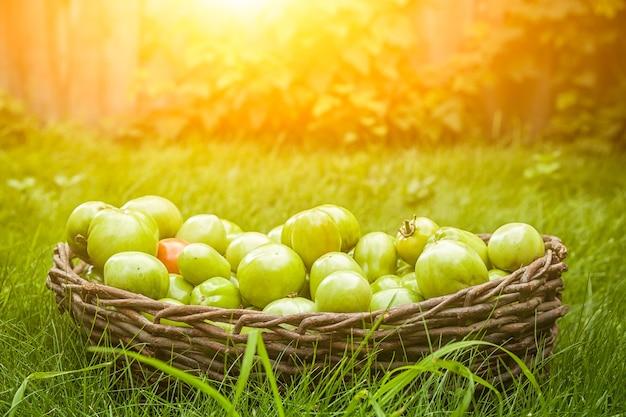 Veel onrijpe tomaten zijn groen in verschillende maten en een kleine rode tomaat in een rieten bruine mand