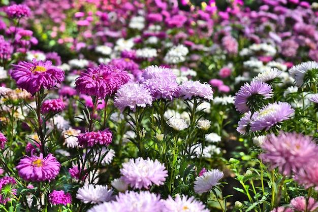 Veel paarse asters groeien op bloembed in de herfst