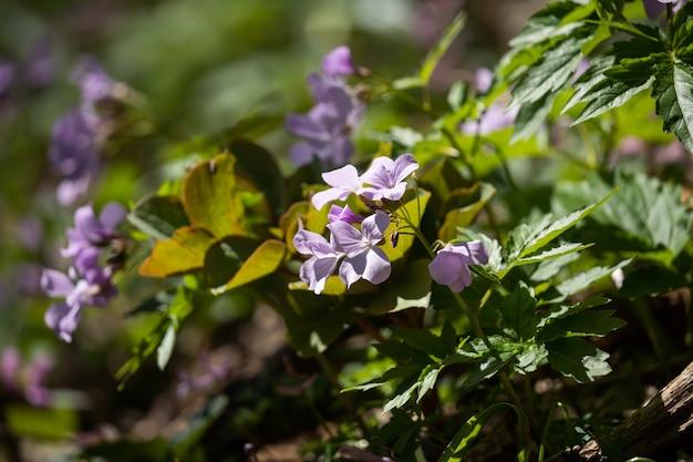 Veel paarse bloemen tussen het groene gras. lente bloei close-up. nuttige eigenschappen van planten.