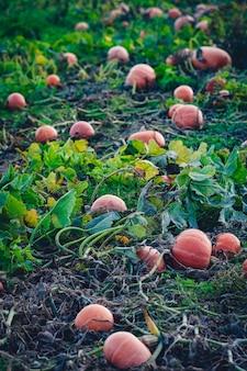 Veel pompoenen bij de oogst in een veld
