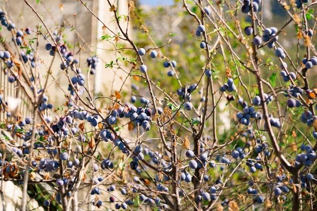 Veel rijpe blauwe pruimen op de takken van een boom in de tuin.