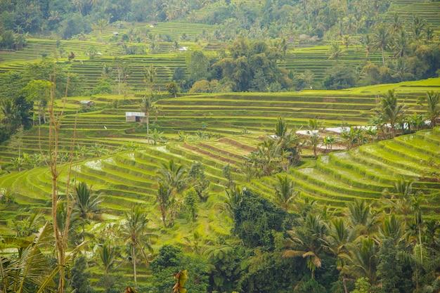 Veel rijstvelden in jatiluwih, bali. indonesië