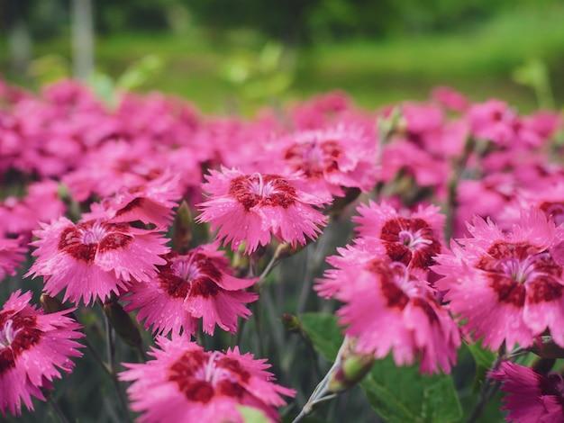 Veel roze anjerbloemen in de tuin