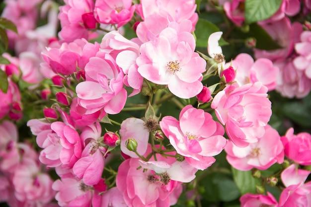 Veel roze bloemen. mooie rozen achtergrond.