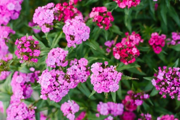 Veel roze bloemen van turkse anjer bloeien in de zomer in de tuin