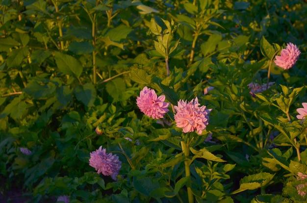 Veel roze dahlia's bloemen. avond tijd
