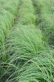 Veel stengels van groen riet. ongeëvenaard riet met lange stengels