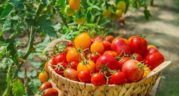 Veel tomaten in de tuin, oogst. selectieve aandacht.