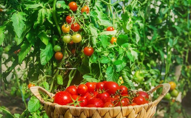 Veel tomaten in de tuin, oogst.