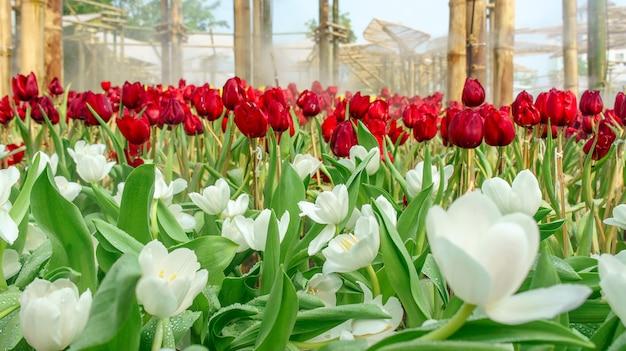 Veel tulpen in het bloembed in een park in thailand in verschillende kleuren