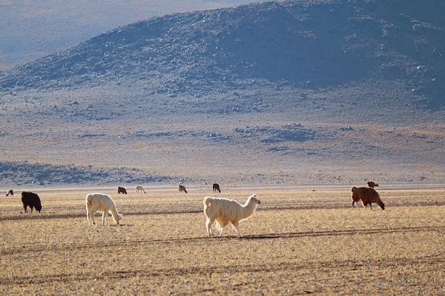 Veel van lama's grazen in het hoogland van bolivia met de andes op de achtergrond