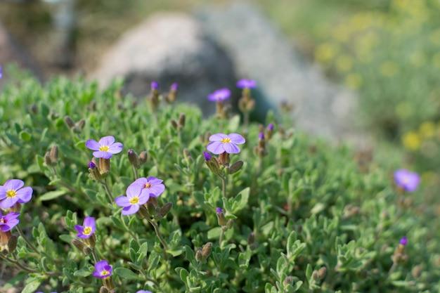 Veel violette bloemen van aubrieta deltoidea of aubretia