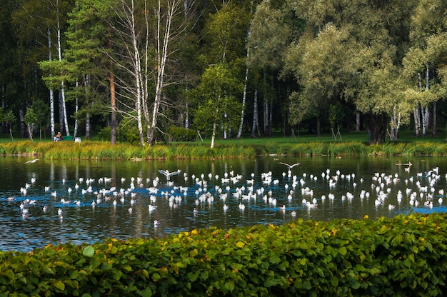 Veel vogels over het meer. rusland. gatchina.