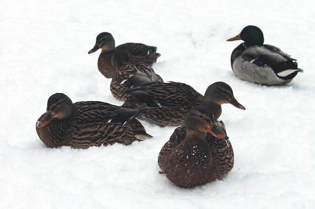 Veel wilde eenden in de sneeuw in de winter.