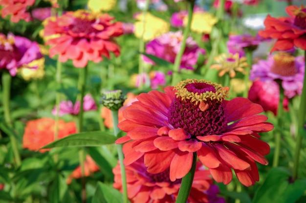 Veel zinnia-bloemen in zonnige tuin