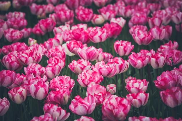 Veelkleurig tulpenveld in nederland