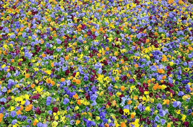 Veelkleurig viooltje bloemen veld