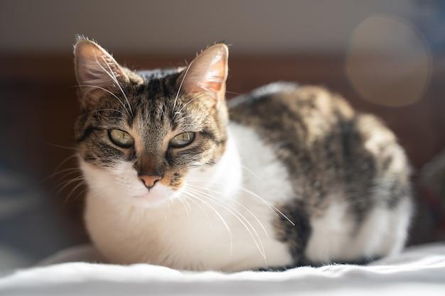Veelkleurige kat die op het bed ligt en recht vooruit kijkt. palma de mallorca, spanje