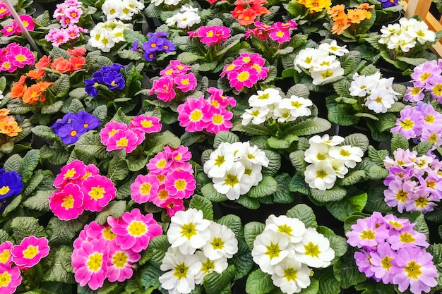 Veelkleurige primula's bloeien. achtergrond van bloem van sleutelbloem.