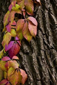 Veelkleurige tak van wilde druiven aan een boom.