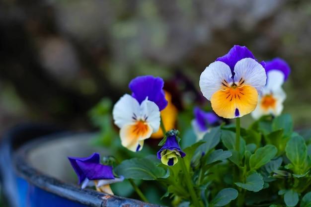 Veelkleurige violette bloemen in een metalen emmer
