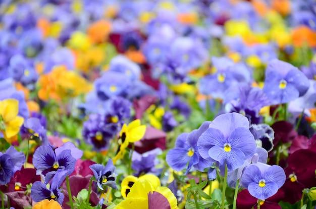 Veelkleurige viooltjebloemen of pansies dicht omhoog