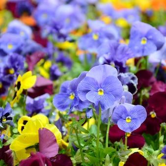 Veelkleurige viooltjebloemen of pansies sluiten omhoog zoals of kaart